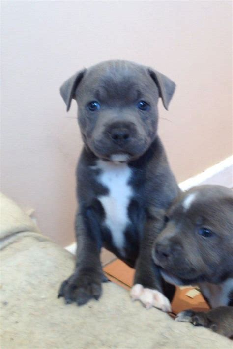 staffordshire terrier puppies blue staffordshire bull terrier puppies