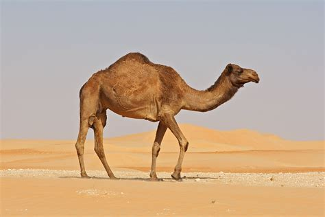 Largest Ship In The World by A New Camel Specie Discovered Pitara Kids Network
