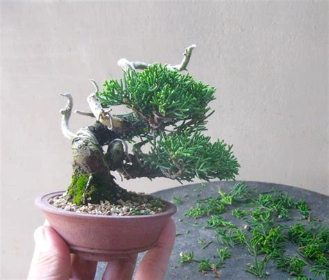 descargar bonsai masterclass all you need to know about creating bonsai from one of the worlds top experts libro e freshly trimmed tiny trees bonsai bark