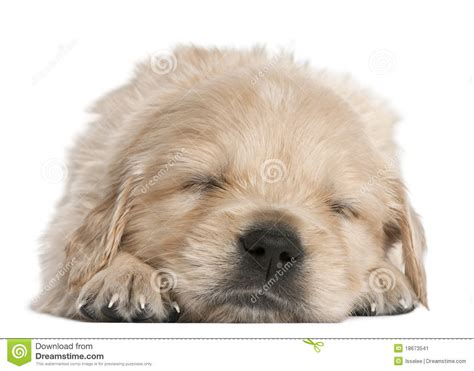 4 week golden retriever golden retriever puppy 4 weeks asleep stock image image 18673541