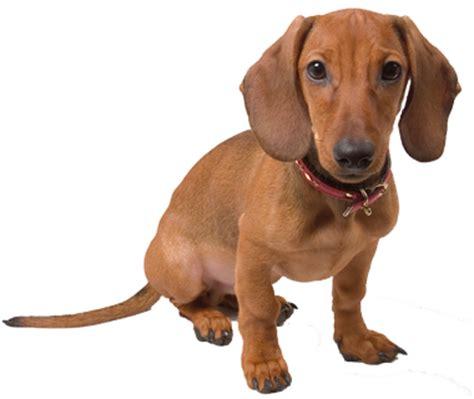where to buy a puppy the free encyclopedia design bild