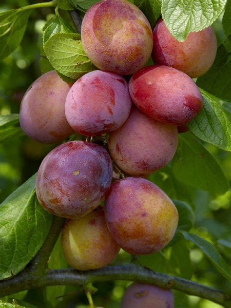 2 fruit trees in one plum tree multi variety fruit tree plum 5 varieties