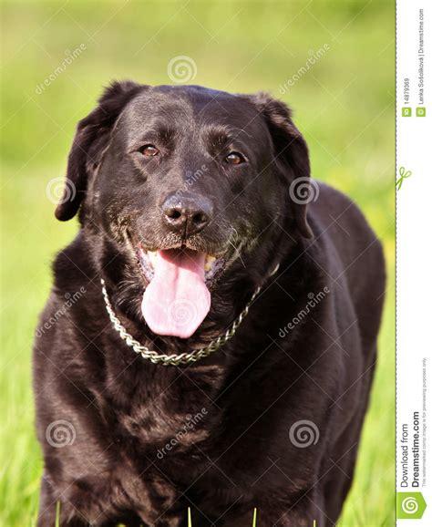 imagenes labrador negro labrador negro
