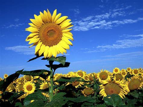 imagenes de flores de girasol im 225 genes de flores y plantas girasol