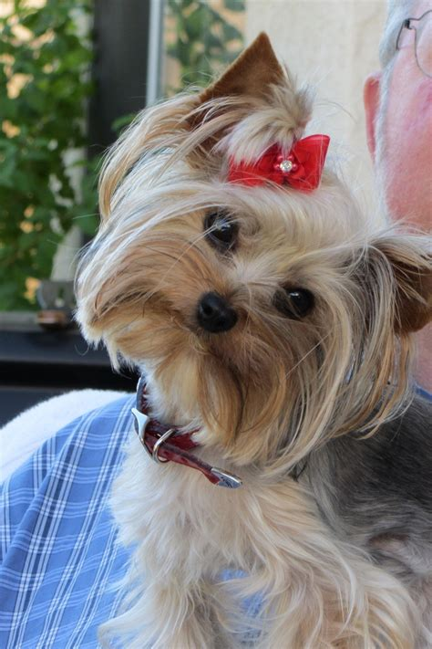 yorkie puppies for sale in chesapeake va 1000 ideas about yorkie poo puppies on yorkie poodles and shichon