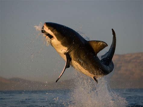 squali volanti foto gli squali quot volanti quot di false bay 1 di 12