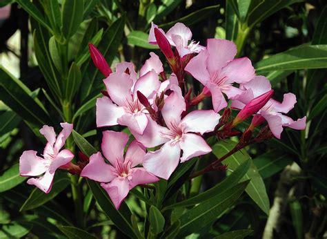 oleander plant nerium