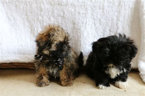 shih tzu blue kc blue lilac shih tzu pups all sold now christchurch dorset pets4homes