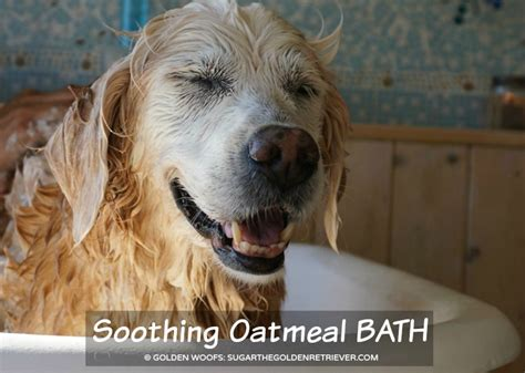 can dogs oatmeal oatmeal bath for your s itchy skin bayerexpertcare golden woofs