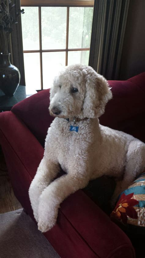 pictures of different poodle haircuts 191 best annie images on pinterest doggies poodles and