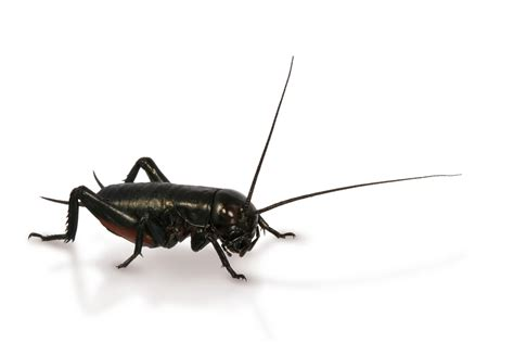 black crickets in house black cricket insect www pixshark com images galleries with a bite
