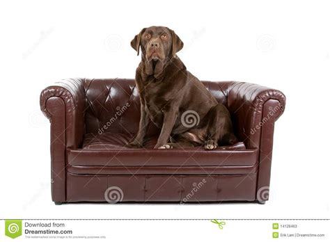 dog settee sofa labrador dog on leather couch stock photos image 14128463
