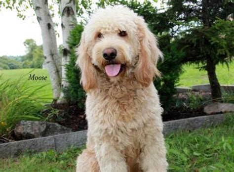 mini goldendoodles west virginia 17 best images about doodles on tennessee