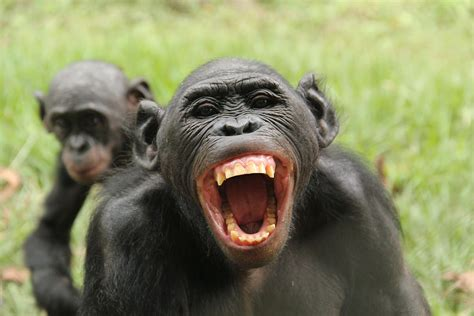 Bonobos know when others are being treated unfairly – and ...