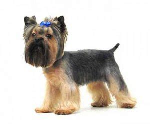 how often should i walk my yorkie yorkie haircuts 100 terrier hairstyles pictures yorkiemag