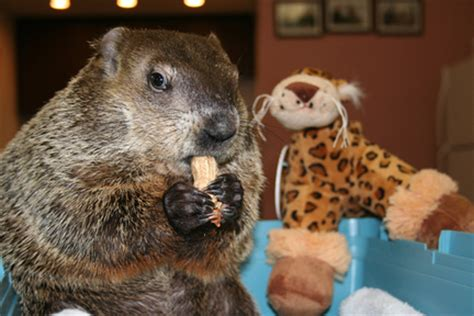 groundhog day 2015 staten island zoo 7 groundhogs working on february 2 groundhog day