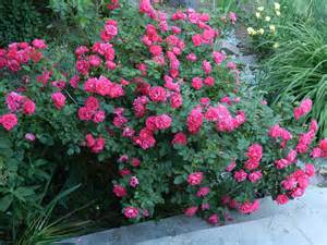 planting roses love your garden
