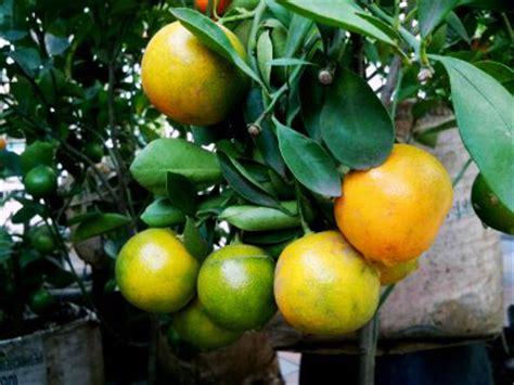 Bibit Jambu Air Karawang buahkan tabulot jeruk bebeja