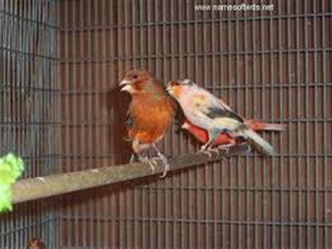 Harga Pakan Burung Jewawut jenis pakan burung kenari sesuai habitat situs burung