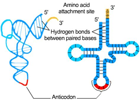 protein synthesis definition dna and protein synthesis s cool the revision website