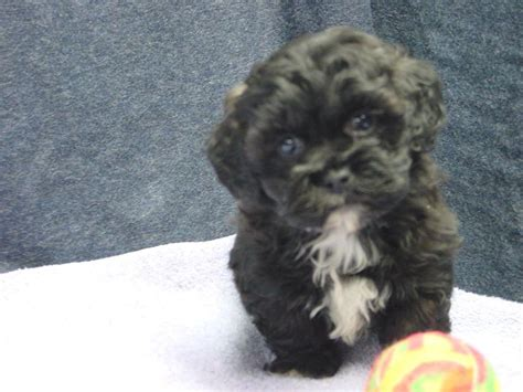 poodle puppies for sale mn shih tzu poodle puppies for sale in st paul mpls minnesota area