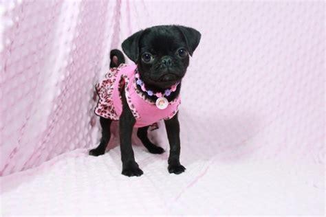 pug puppies las vegas miniature pug puppies by breeder