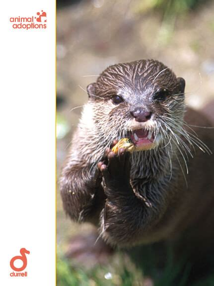 adopt  otter today  durrell gift adoption