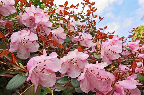 Rhododendron Sonniger Standort by Standort F 252 R Rhododendron 187 So W 228 Hlen Sie Den Richtigen Platz
