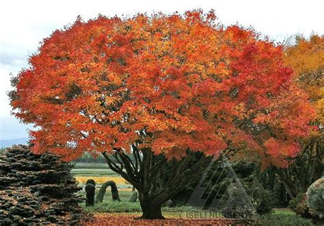 maple tree lifespan a beautiful tobiosho japanese maple tree http lakeviewgardencenter wp content uploads
