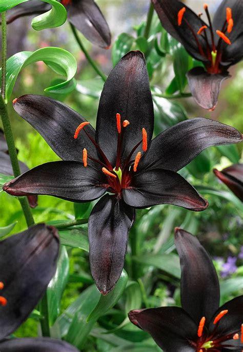 25 best ideas about lily 25 best ideas about lily garden on pinterest lilies