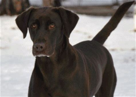 puppies for sale in valdosta ga frenchton puppies for sale in valdosta ga athens breeds