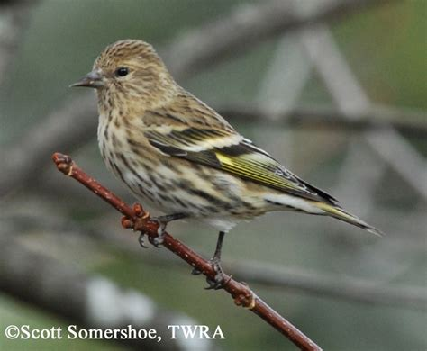 tennessee watchable wildlife pine siskin habitat forest