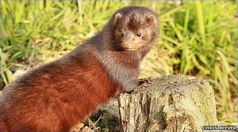 bbc lancashire down by the river in search of mink