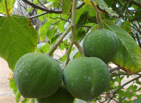 Tanaman Sayuran Dan Bumbu Oregano manfaat dan khasiat tanaman kemiri aleurites moluccana l