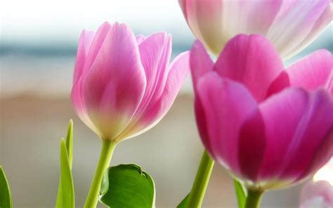 flower spring wallpapers purple tulips flowers wallpapers