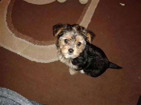 half yorkie half maltese for sale maltese yorkie breeds picture