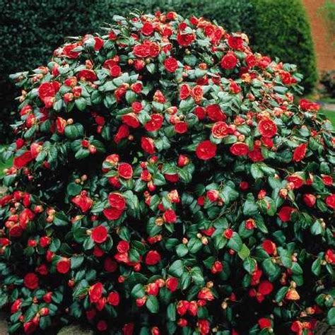 shrubs that flower in winter 87 best images about flowering hedge ideas on