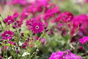 cineraria plant picture flower pictures 5406