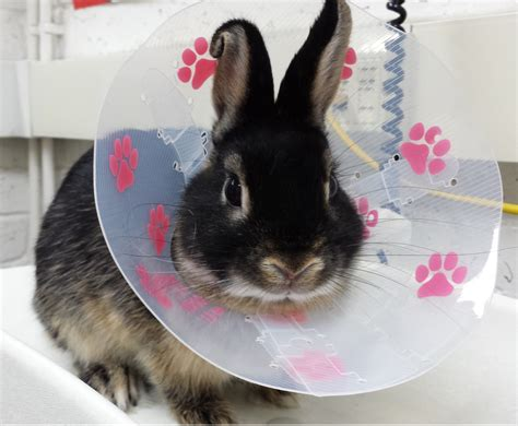 bunny in buster collar jpg 2829 215 2329 pixels animais