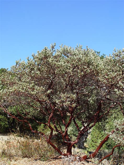 arctostaphylos manzanita wikimedia commons