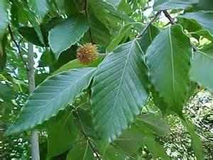 Grey Foliage Plants - american beech fagus grandifolia great plains nursery