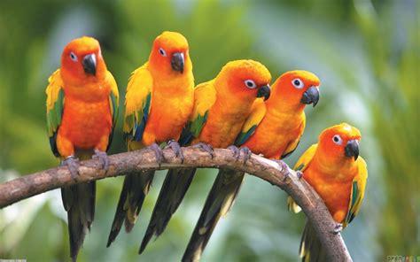 orange parrot wallpaper 19402   open walls