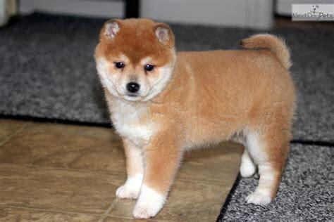 shiba inu puppy price shiba inu puppy for sale near lancaster pennsylvania 4df2d58d 4ff1