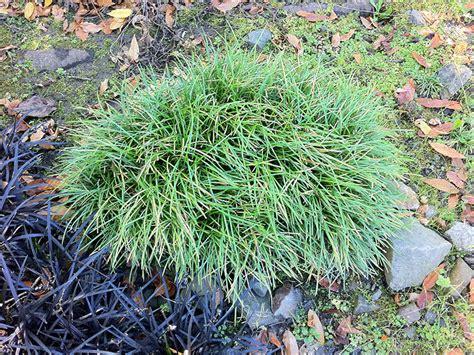 schlangenbart gras schlangenbart gras ophiopogon japonicus minor ziergras