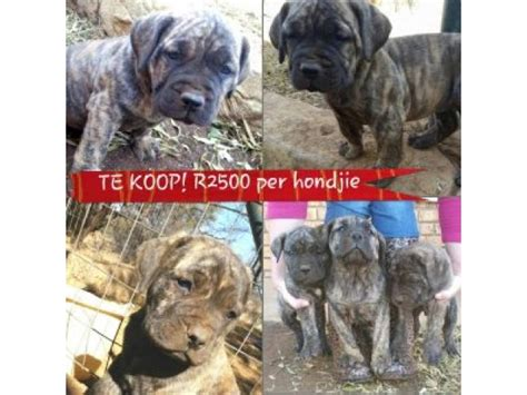 south boerboel puppies for sale boerboel puppies for sale rustenburg ad land south africa