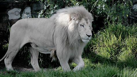 imagenes leon blanco fotos leon blanco en cautiverio en el parque ecologico reino