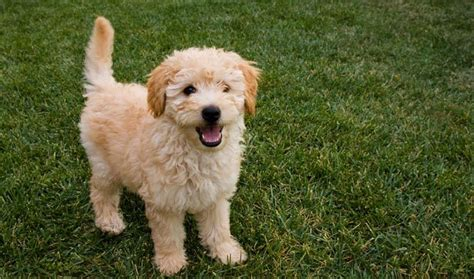 Goldendoodle Shed by Goldendoodle Breed Information