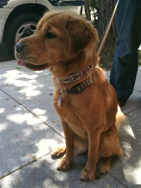golden retriever shar pei mix of the day frannie the shar pei golden retriever mix the dogs of san