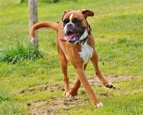 boxers for are boxers family dogs canna pet 174