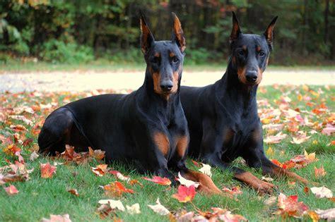 doberman puppies dobermans dogs wallpaper